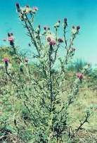 Bull_thistle--maturee