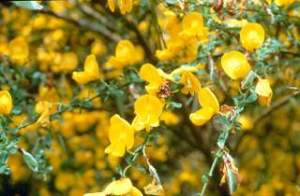 Scotch_broom--flower