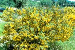 Scotch_broom--mature