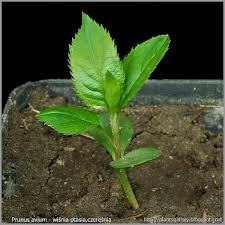 sweet cherry seedling